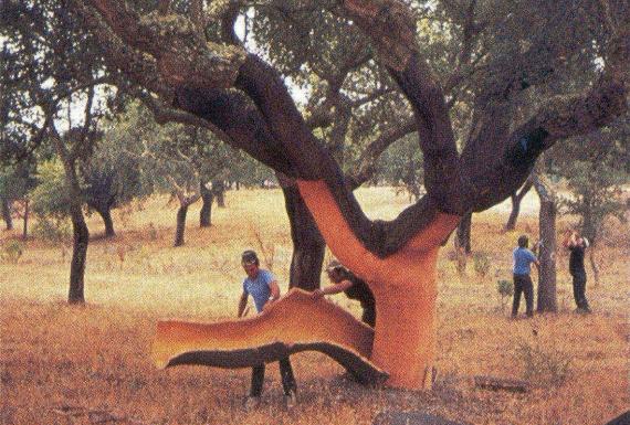 עץ לייצור השעם