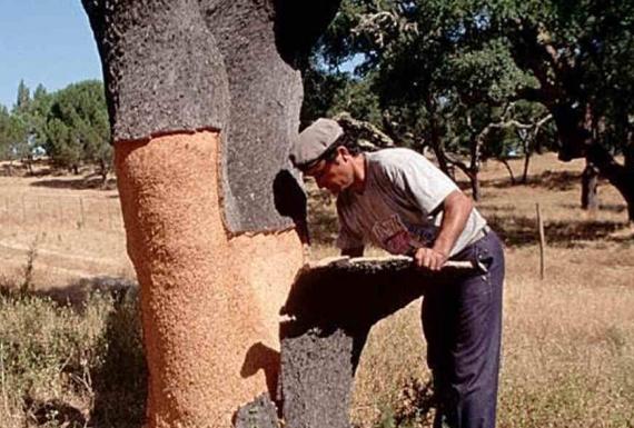 איש מקלף את עץ השעם