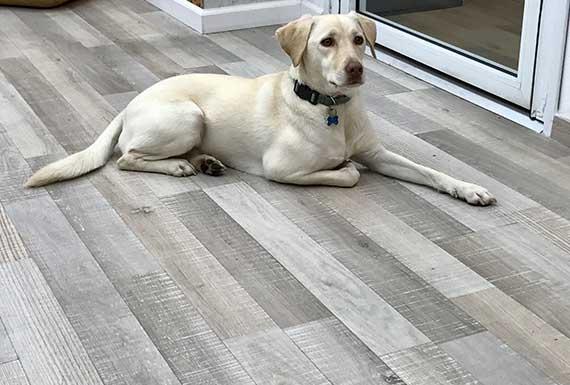 כלב יושב על פרקט לבן