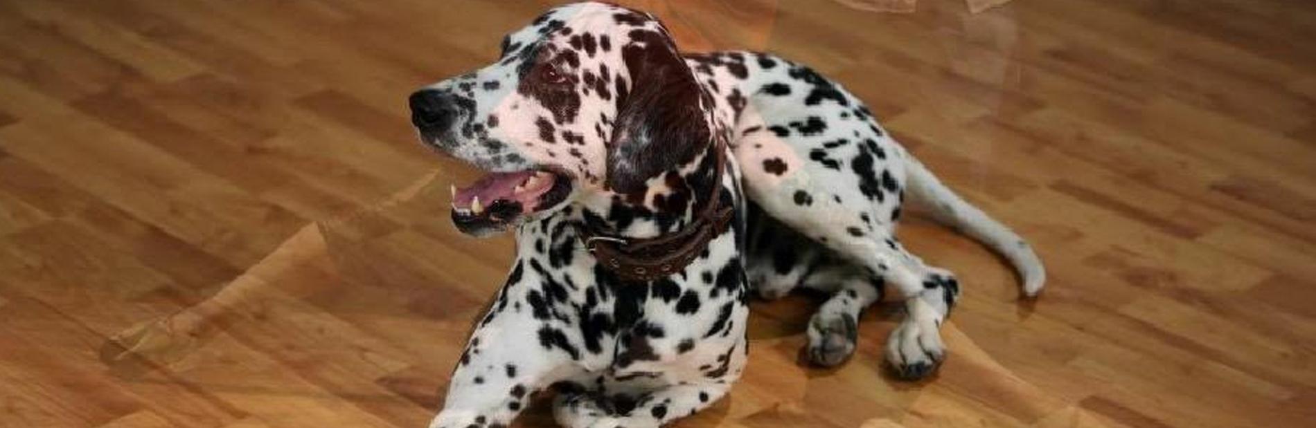 כלב דלמטי יושב על רצפת פרקט