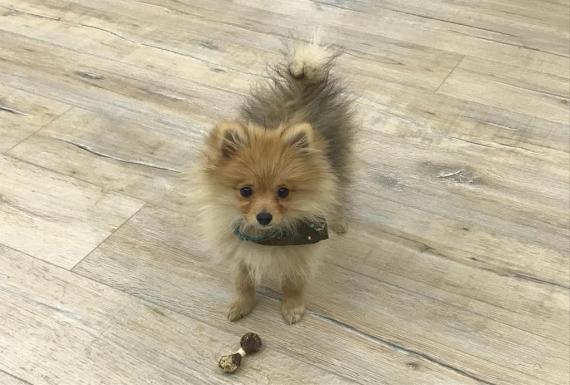 כלב פרוותי עומד על פרקט