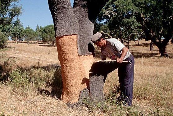 איש מקלף את גזע עץ השעם