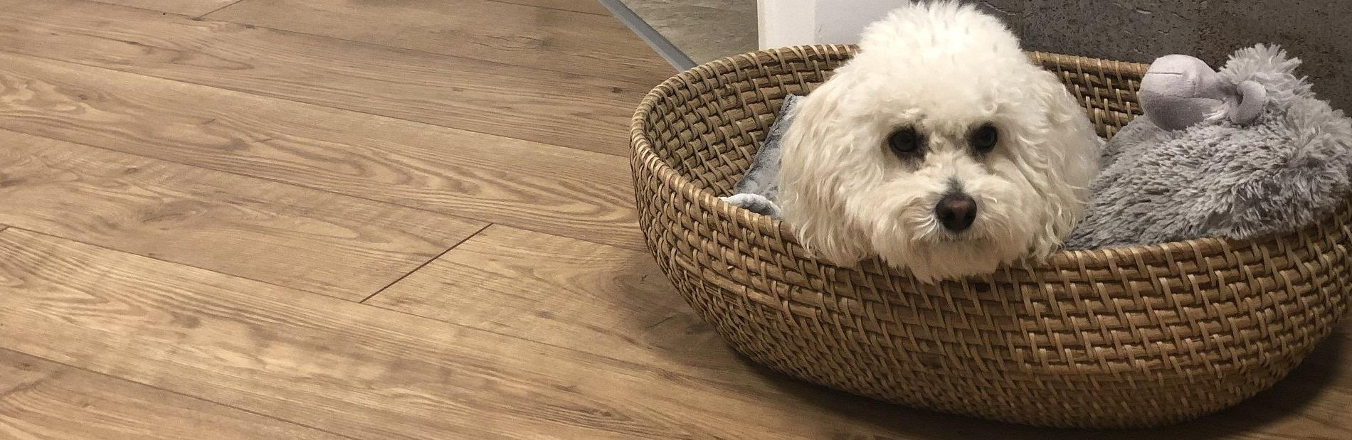 כלב בסלסלה על פרקט מינציה