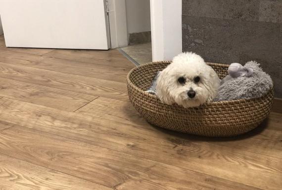כלב בסלסלה על רצפת פרקט למינציה