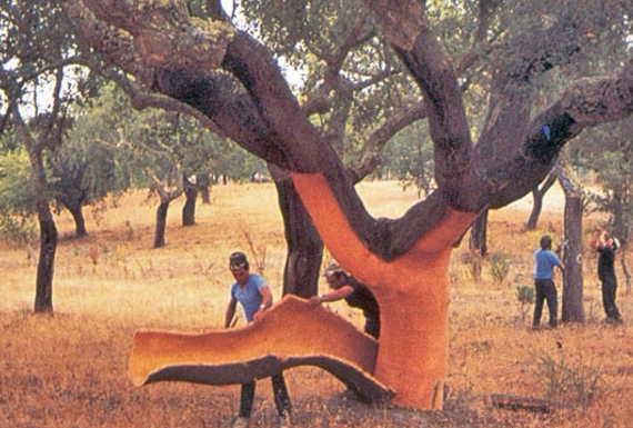 קילוף עץ השעם