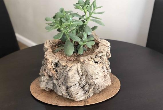 קליפות שעם וגזעי עץ אלון השעם למכירה ממחסני היבואן הרשמי - ארודור שעם ופרקטים